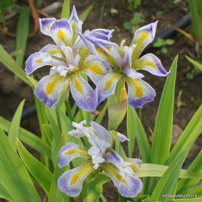 Iris virginica 'Dottie's Double' (2)
