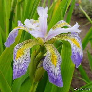 iris-virginica-dotties-double