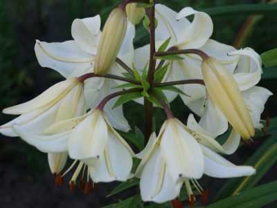lily-angelu-varpai-2