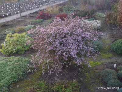 Aster ericoides 'Pink Cloud' (2)