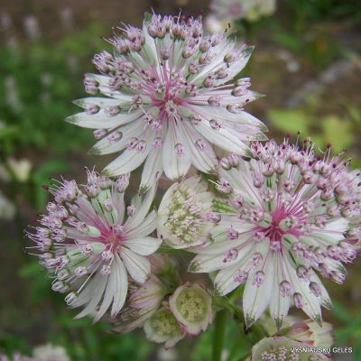 Astrantia major 'Suunningdale Variegated'