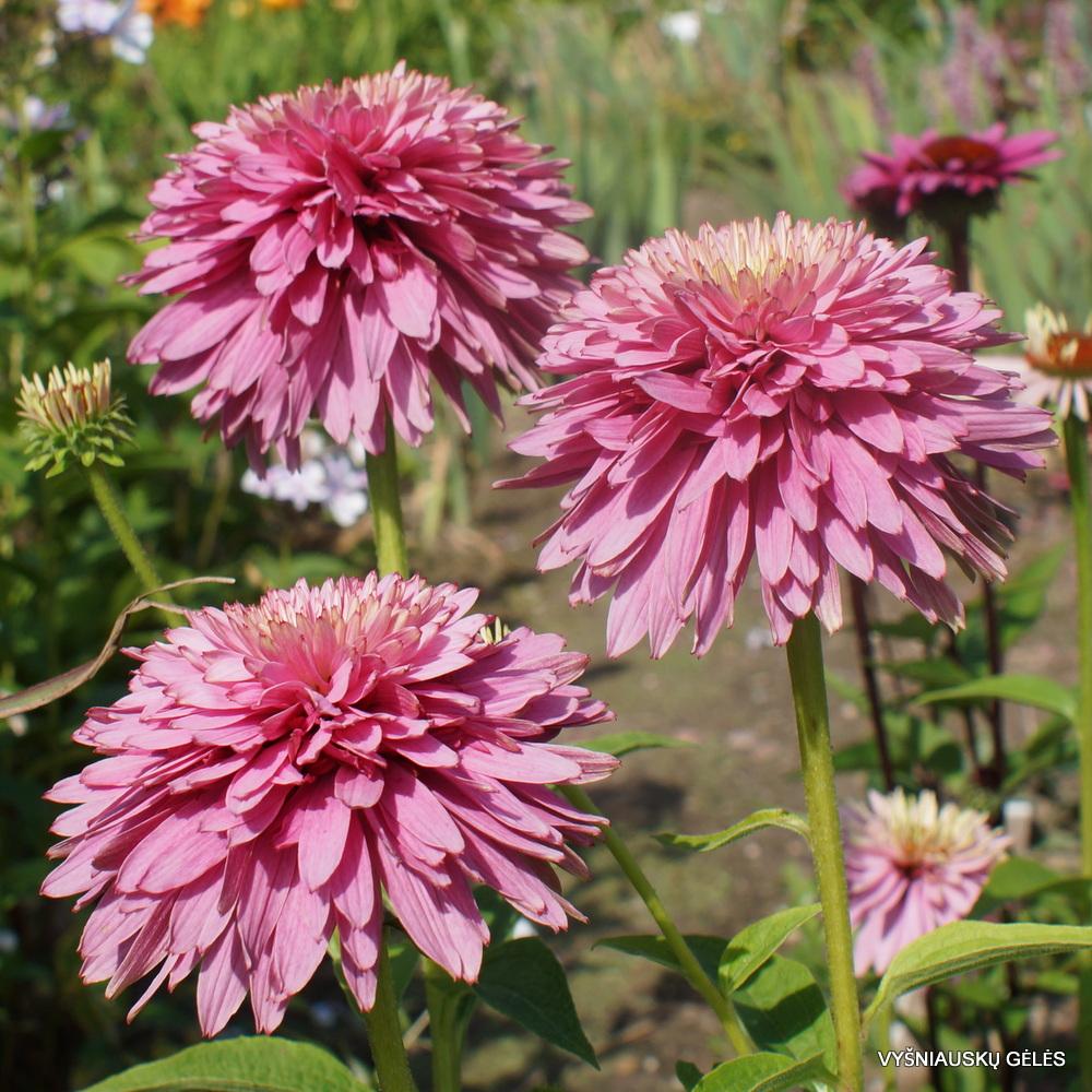 Echinacea 'Pink Poodle' (2)