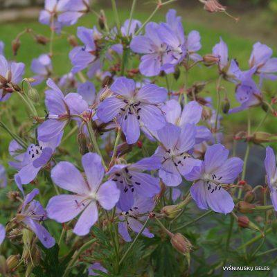 Geranium clarkei 'Kashmir Blue'