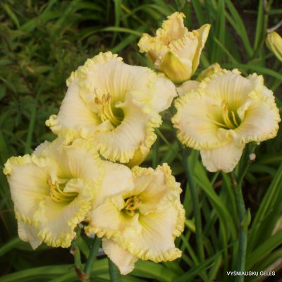 Hemerocallis 'Angels Gather Around' (2)