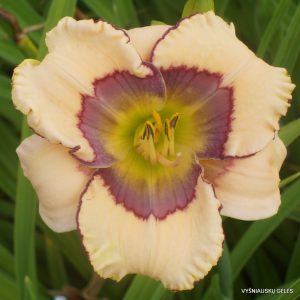 Hemerocallis 'Cosmic Shadows'
