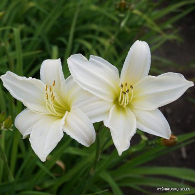 Hemerocallis-Dad's-Best-White-2