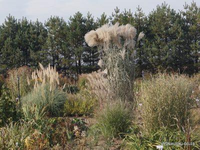 miscanthus-sinensis-rossi