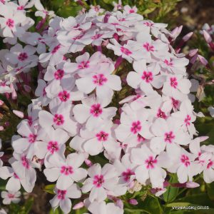 Phlox-'White-Eye-Flame'-1