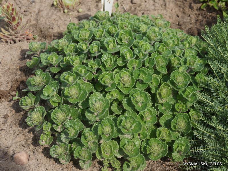 teucrium-pyrenaicum-3