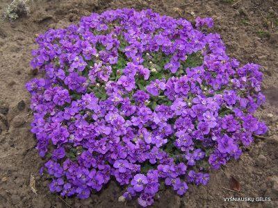 aubretes-blue-beauty