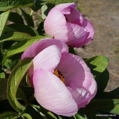 bijunai-rozinis-pavasaris