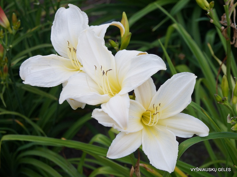 daylily-Dad's-Best-White-1