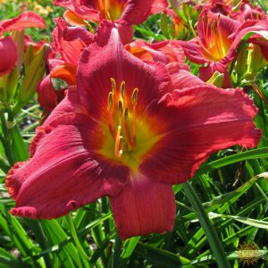 daylily-I-Can't-Stop-Loving-You-1