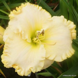 daylily-Queen-of-Narnia