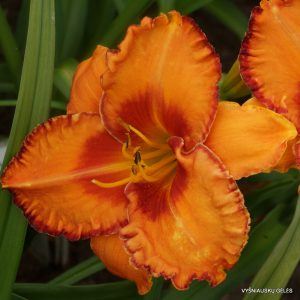 daylily-Volcano-Queen