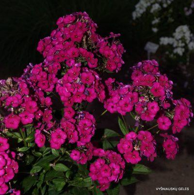flioksai-raving-beauty-2