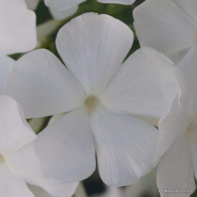 flioksai-alba-grandiflora-2