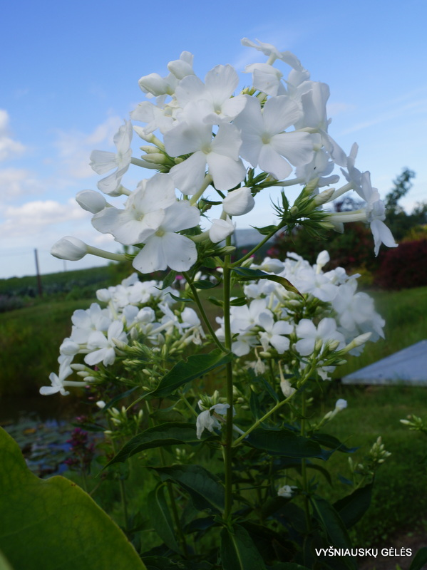 flioksai-alba-grandiflora-3