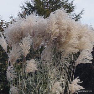 Varpiniai augalai