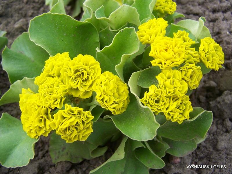 raktazoles-forest-lemon-3