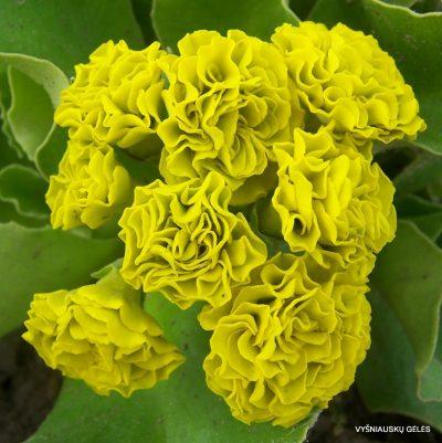 raktazoles-forest-lemon