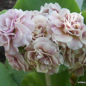 Primula - Raktažolės