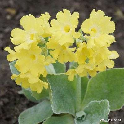 raktazoles-old-yellow-dusty-miller