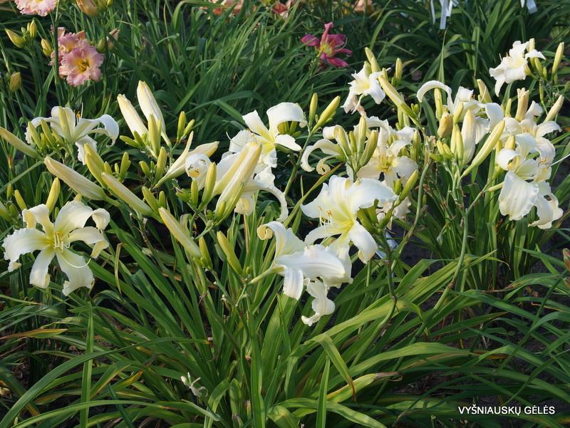 viendienės 'Heavenly White Lightening' (2)