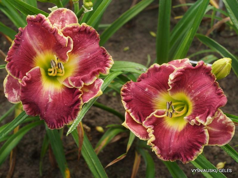 viendienes-windsor-plantation-2