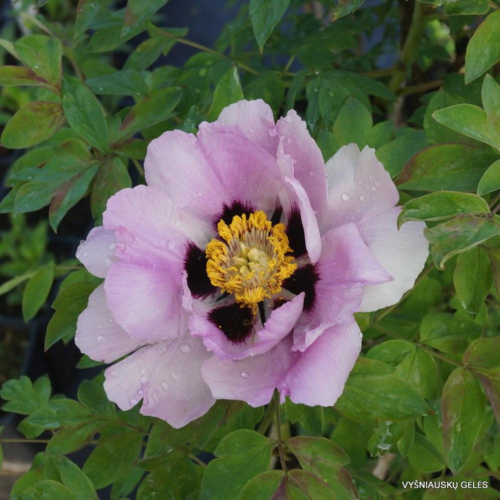Paeonia suffruticosa (3)