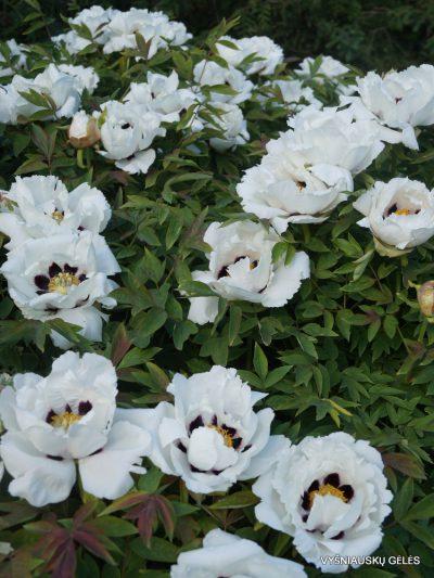 Paeonia suffruticosa (4)
