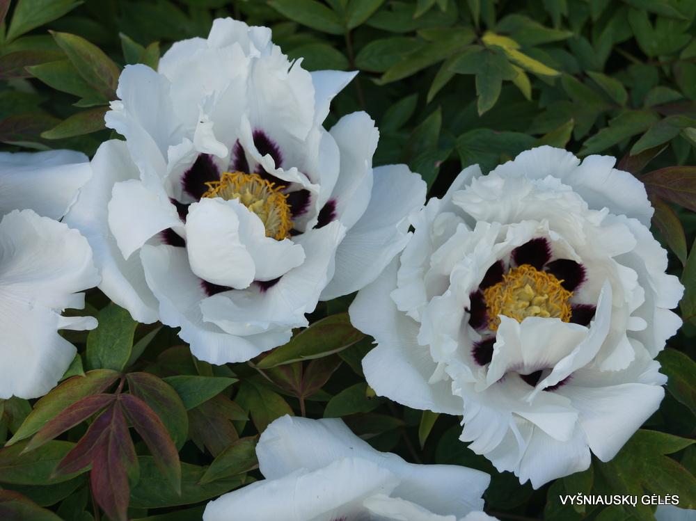 Paeonia suffruticosa (5)