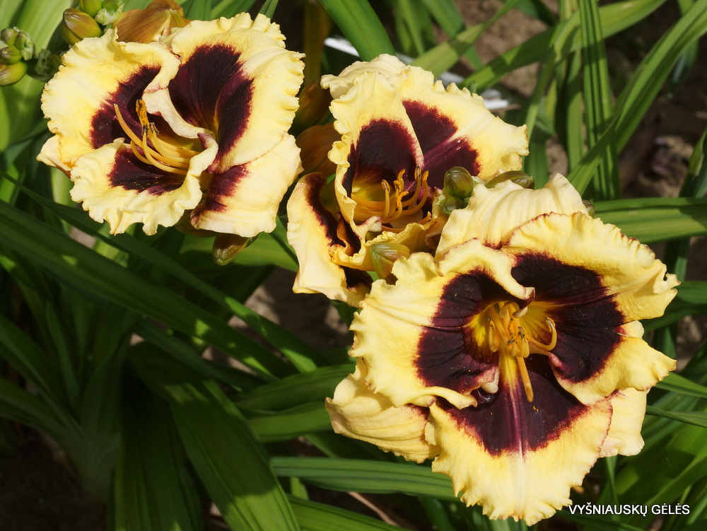 Hemerocallis 'Anti Matter' (2)