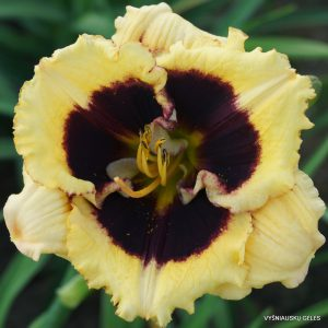 Hemerocallis 'Anti Matter'