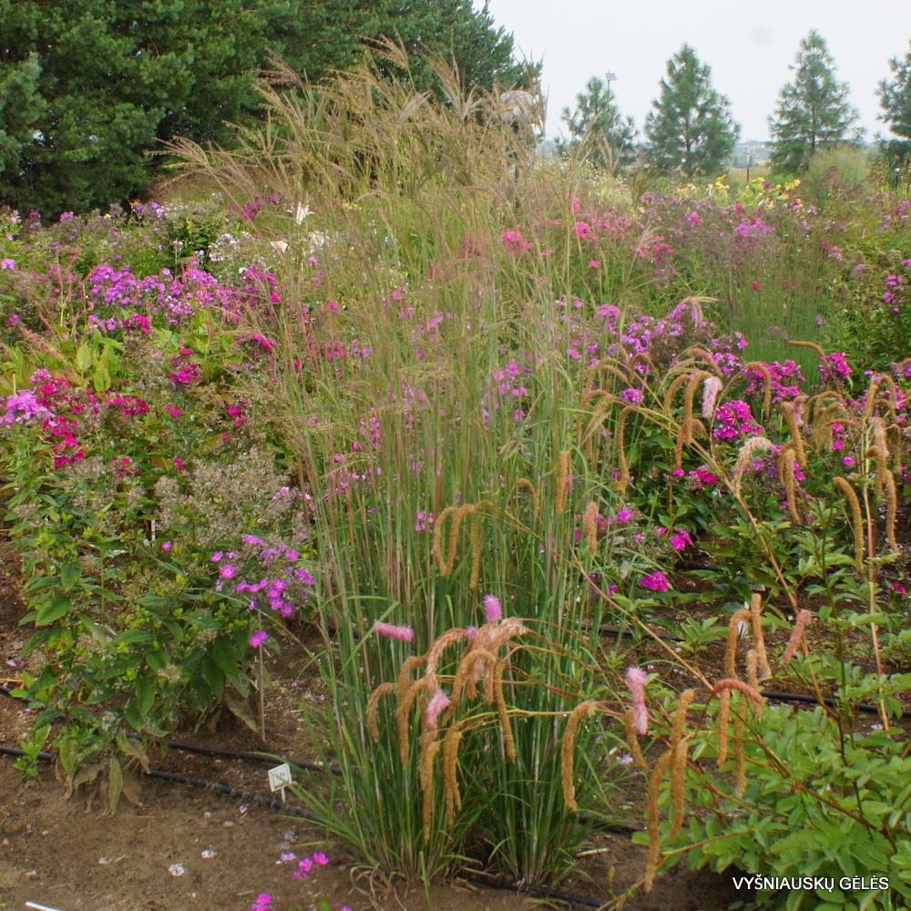 Andropogon gerardii 'Prairie Sommer' (2)