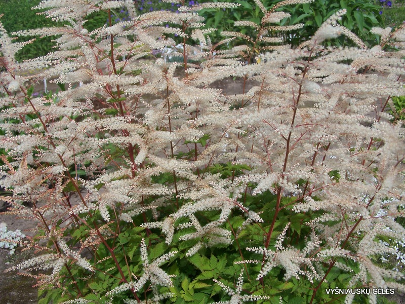 Aruncus 'Misty Lace' (2)