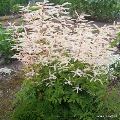 Aruncus 'Misty Lace'