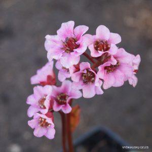 Bergenia 'Flower Joy'