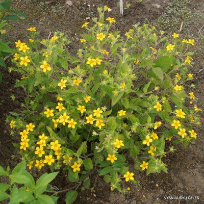 Chrysogonum virginianum (2)