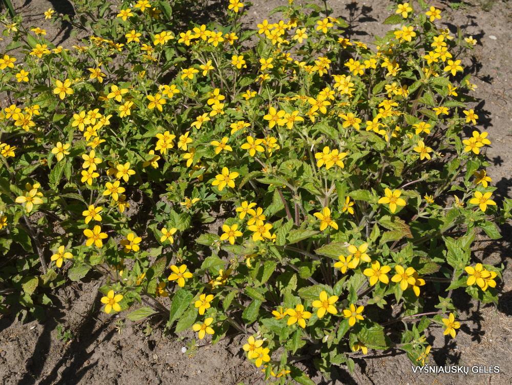 Chrysogonum virginianum (3)