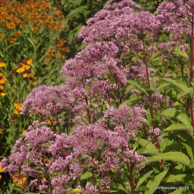 Eupatorium 'Phantom'