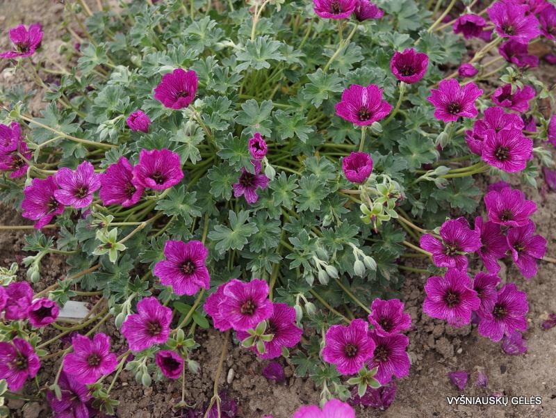Geranium cinereum 'Purple Pillow' (2)