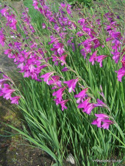 Gladiolus caucasicus (2)