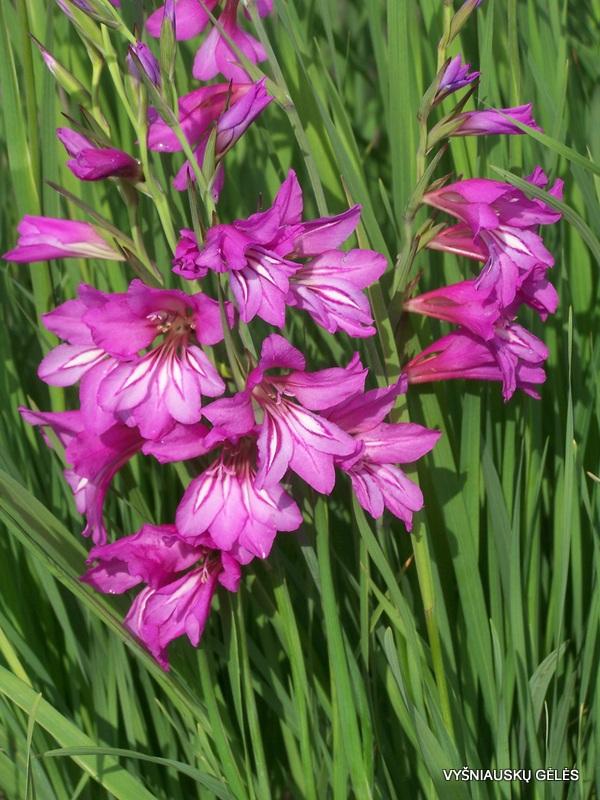 Gladiolus caucasicus (3)