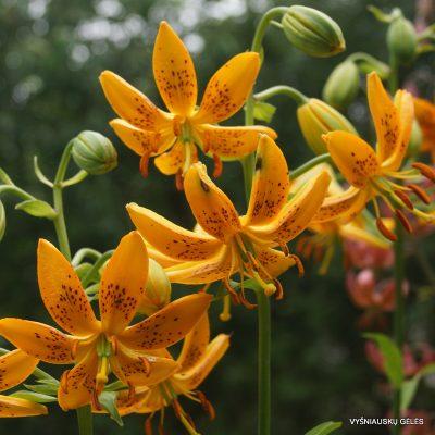 Lilium-hansonii