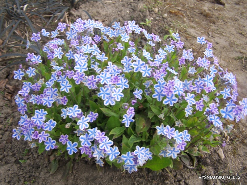 Omphalodes cappadocica 'Starry Eyes' (3)