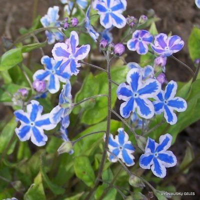 Omphalodes cappadocica 'Starry Eyes'