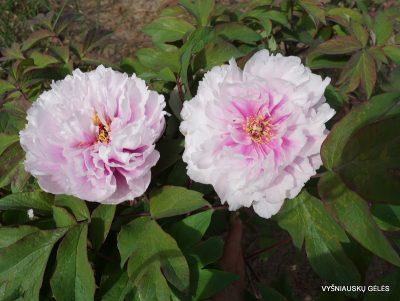 Paeonia suffruticosa 'Sozertsanie'