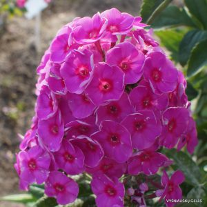Phlox 'Adessa Rose Eye' (2)