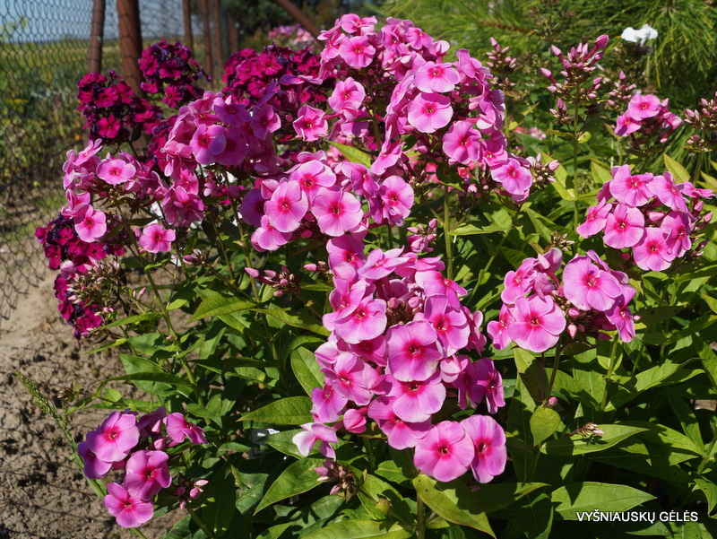 Phlox-'Adessa-Rose-Eye'-4